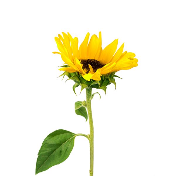 Organic Sunflower Oil